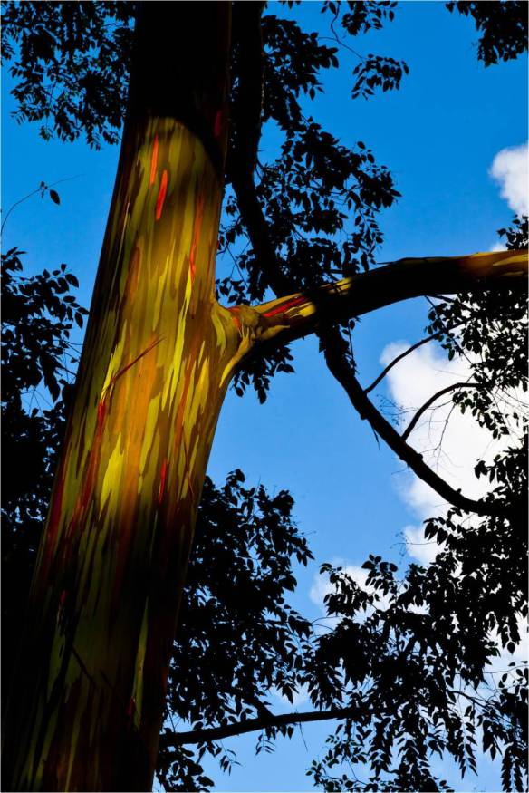 rainbow eucalyptus 3_chris