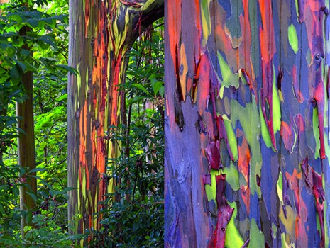 rainbow eucalyptus unknown 1