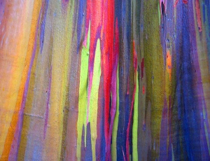 rainbow eucalyptus unknown 3