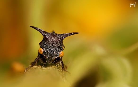 membracidae peek